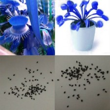 500Pcs 1Pack Blue Flytrap Seeds Dionaea Muscipula Venus Bonsai Potted Insect Trap