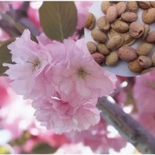 Cherry Blossom Sakura 1 Pack Seeds Sakura Tree Seeds Healthy