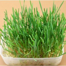 Cat Grass 30g/pack Harvested Seeds Organic Plant Including Growing Guide